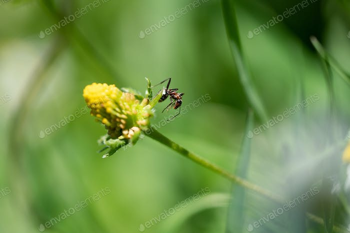 Macro photo of an ant and the beautiful white flowers on a sunshine day is in the garden