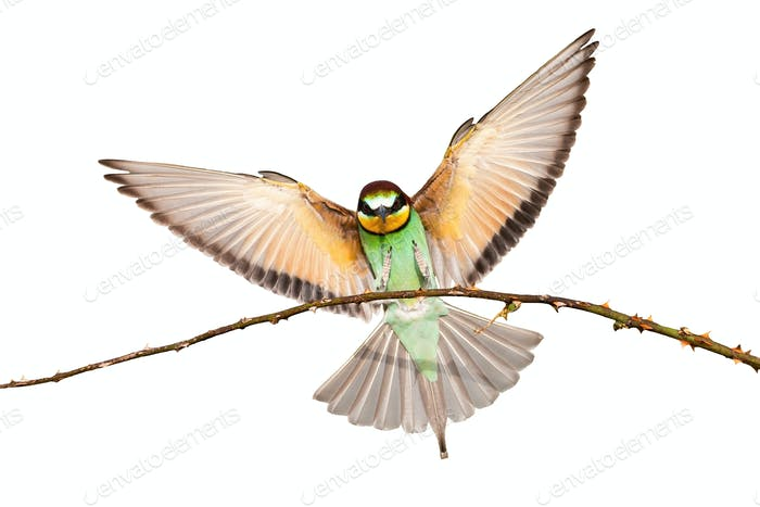 European bee-eater landing on a twig with wings spread wide isolated on white