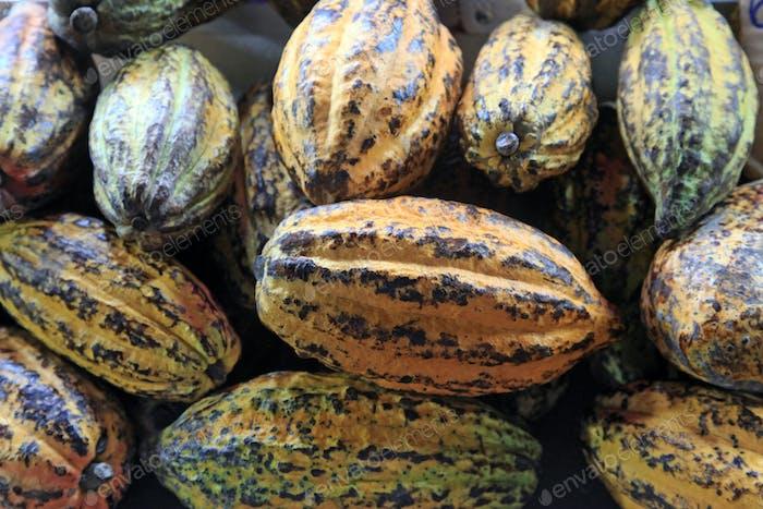 Kakao, reife Früchte