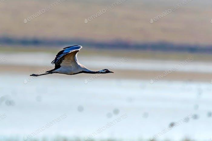 Schöne fliegende Demoiselle Kran oder Grus Virgo