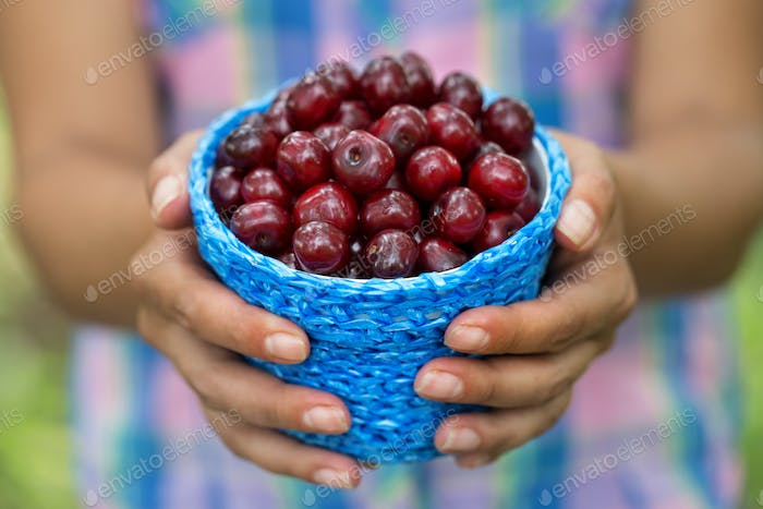 Basket with ripe cherry berries in hands of woman farmer