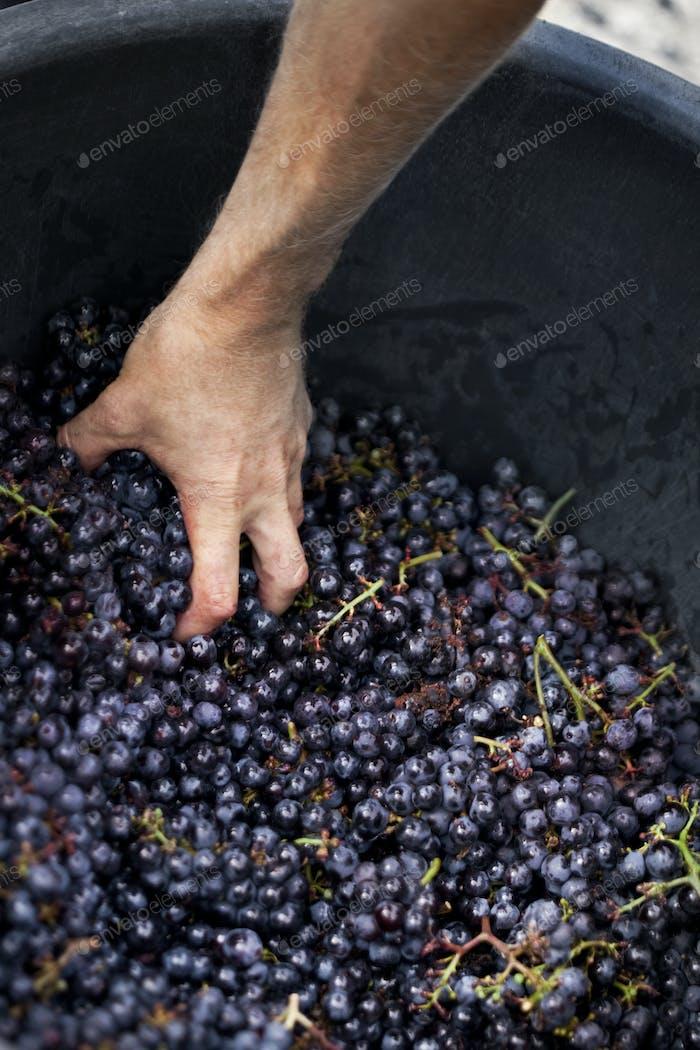 Man moving grapes