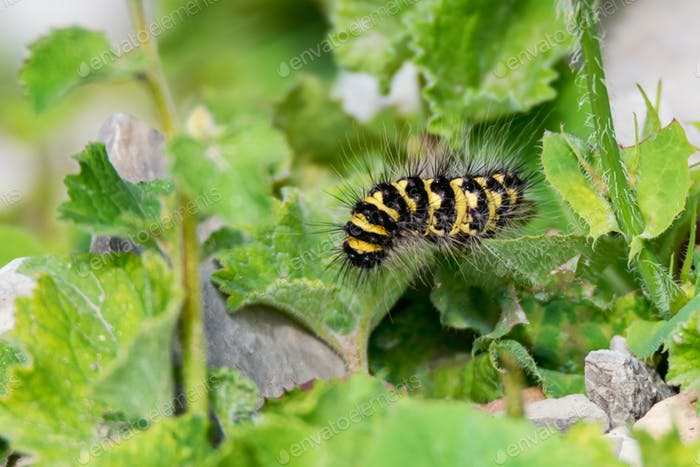 Close up of Acronicta dentinosa on the green leaf