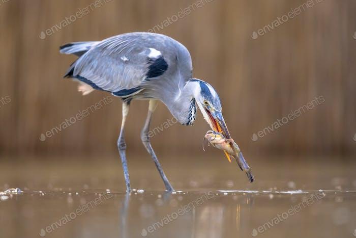 Grey heron hunting for fish in lake