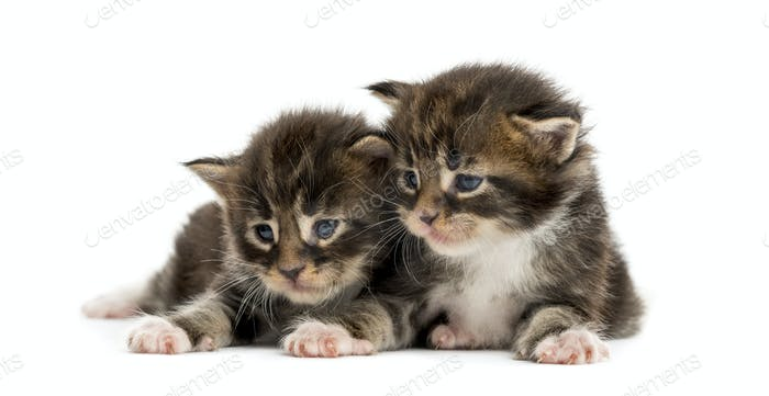 Maine coon kittens looking away isolated on white
