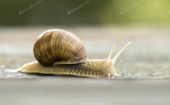 Slow snail crawling