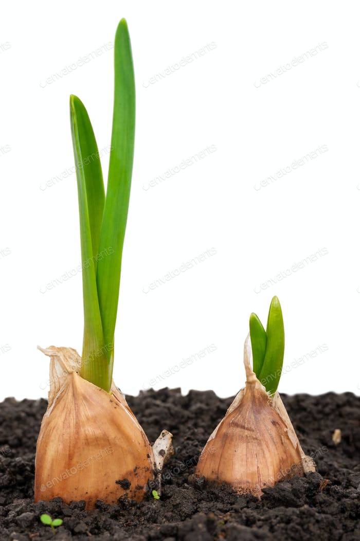 Sprouting garlic in soil