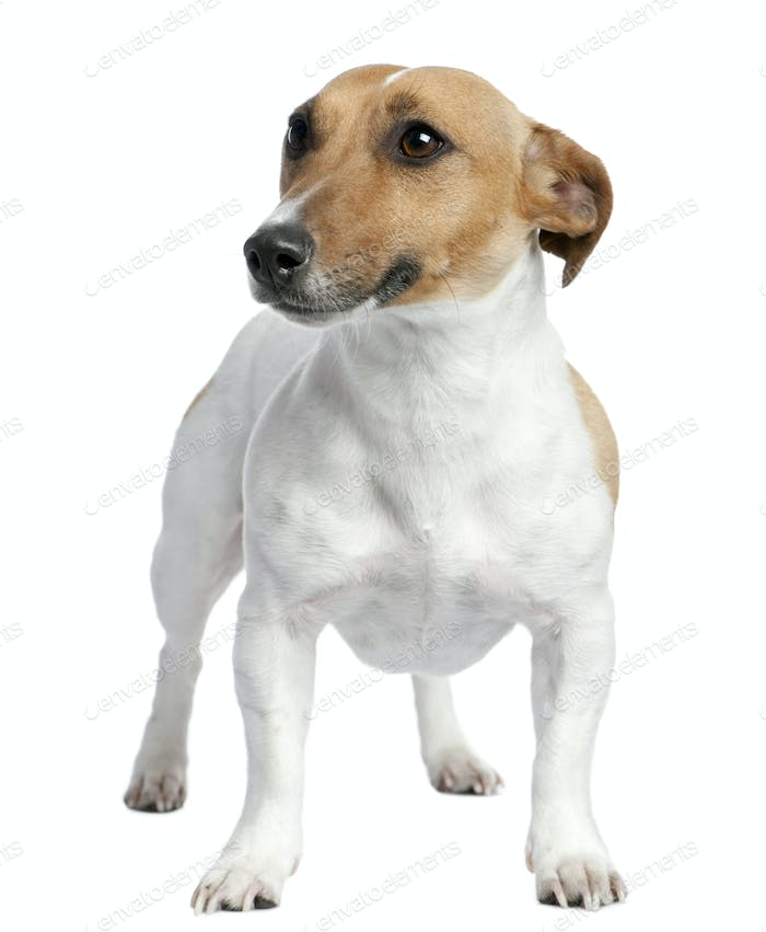 Jack russell (2 years old)