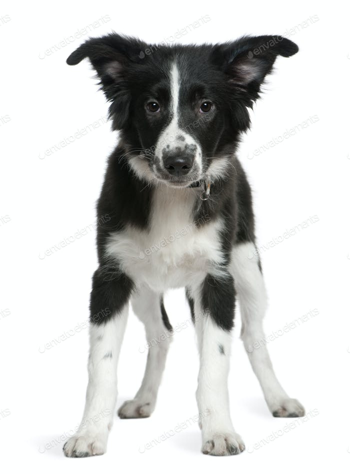 Border Collie puppy, 4 months old, standing in front of white background