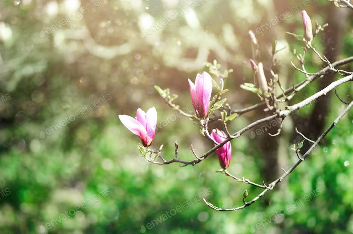 Blooming magnolia tree in the spring sun rays. Selective focus. Copy space. Easter, blossom spring