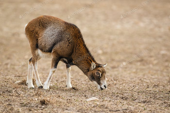 Mouflon, ovis musimon, female adult sheep feeding in winter with copy space