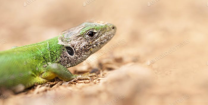 Close-up of a green lizard