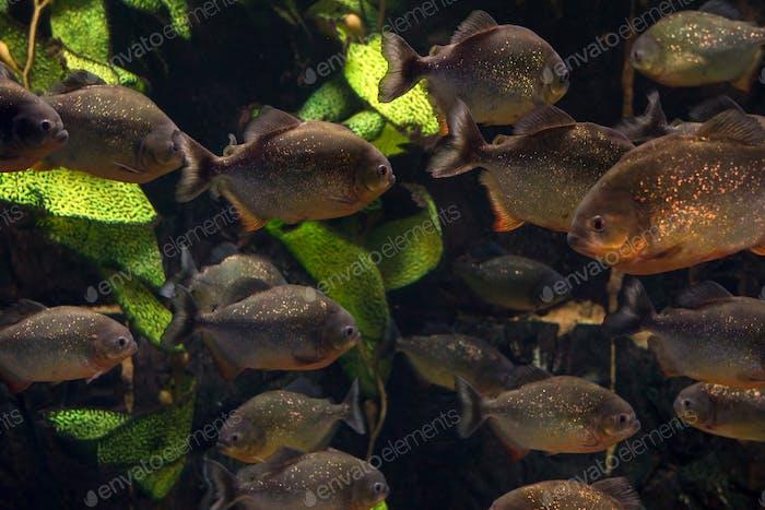 Group of piranhas floating in an aquarium