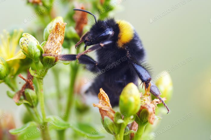 Bumble bee on flower - pollination