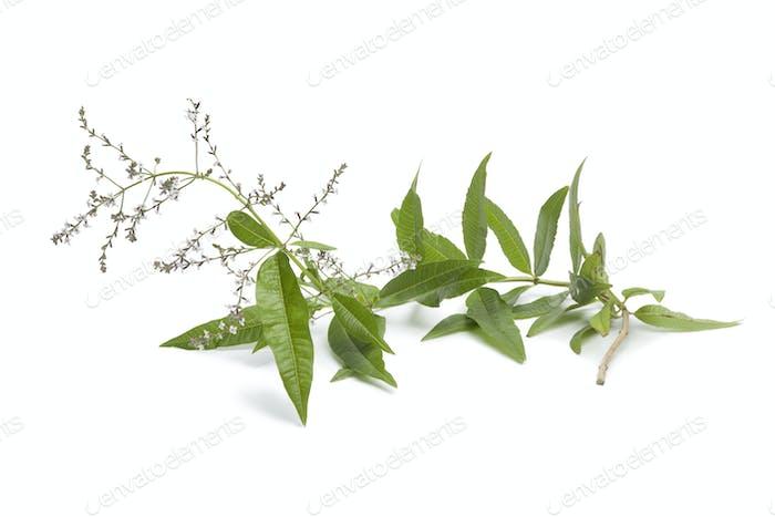 Twig of flowering verveine