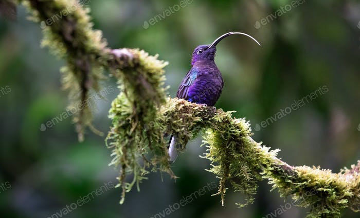 Violet Sabrewing Hummingbird in Costa Rica