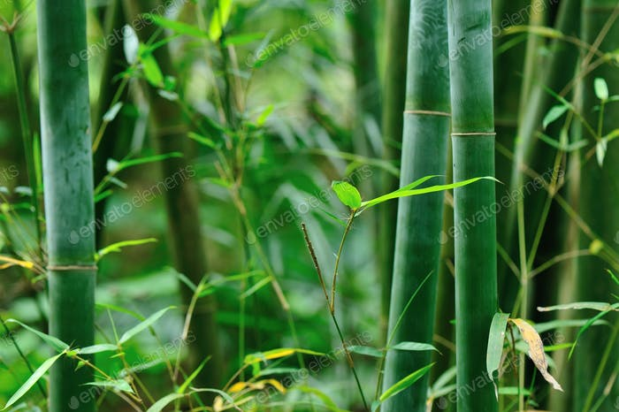 Bamboo trees in garden