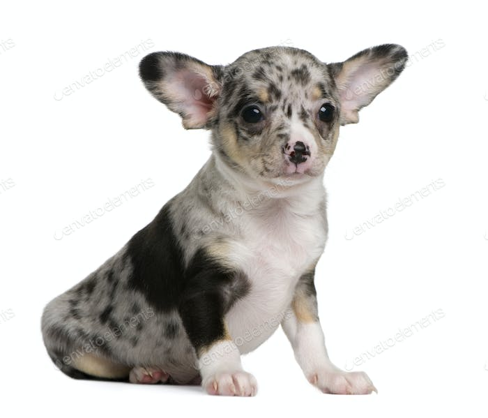 Blue merle Chihuahua Puppy, 8 weeks old, sitting in front of white background