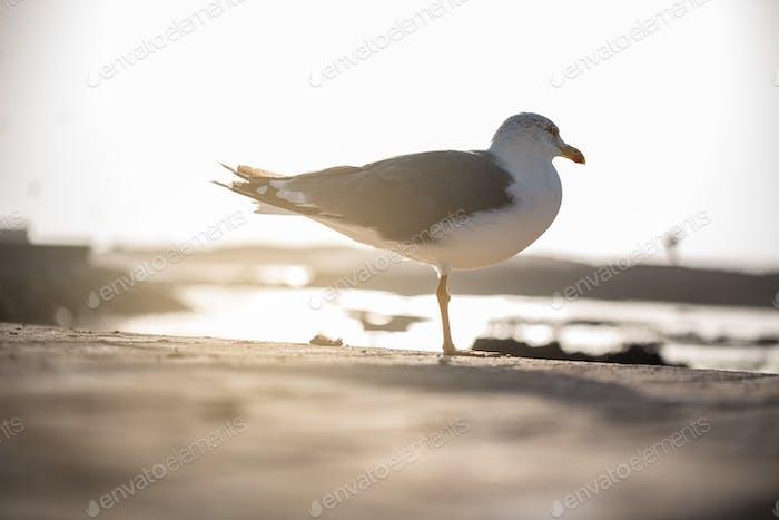 Seagull bird on the ground