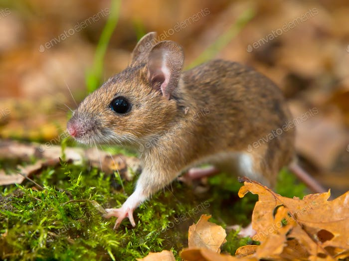 yellow necked mouse walking