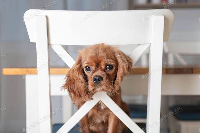 Puppy on the white kitchen chair