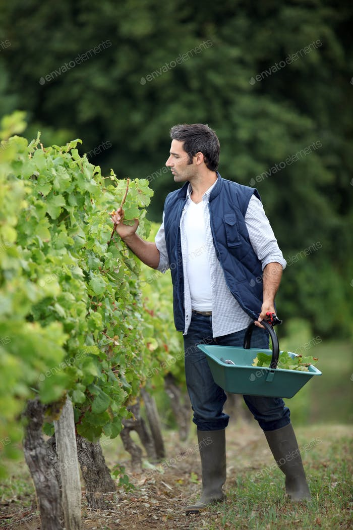 Farmer checking on his grapes.