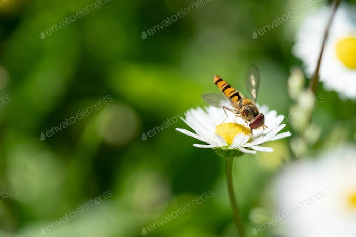 Insect collecting pollen from white daisy flower with sunset light