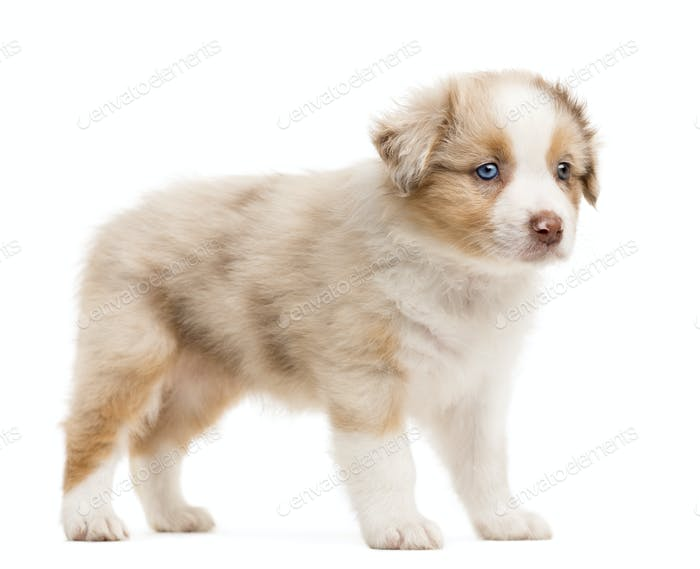 Australian Shepherd puppy standing and looking away against white background