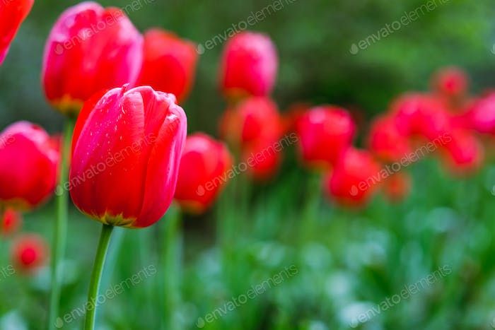 Group of red tulips in the park. Spring season time