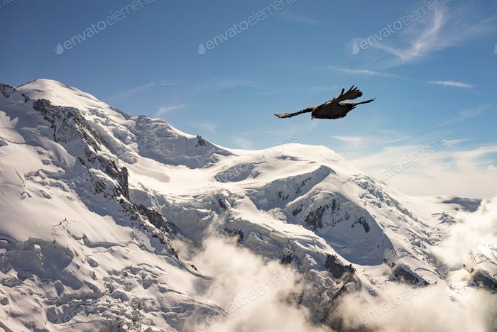 Alpine chough flying above snowy mountain