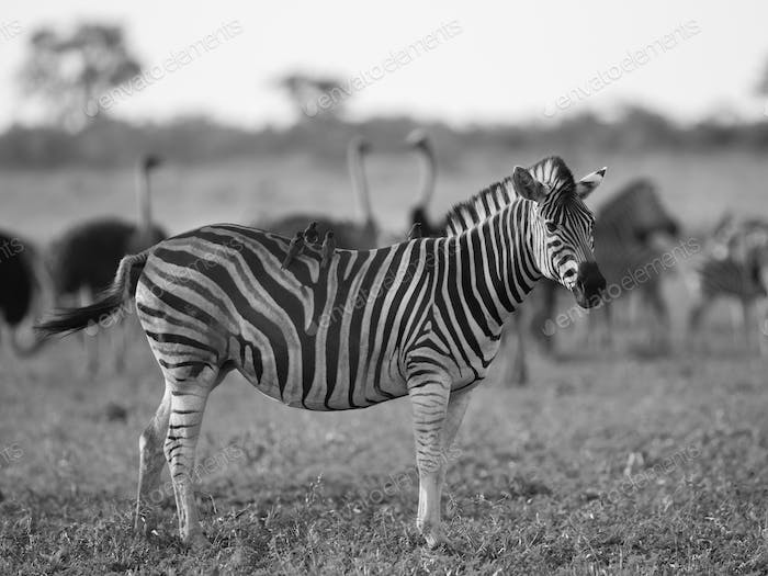Common Zebra foraging in black and white