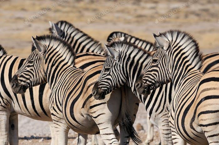 Zebra herd, Etosha, Namibia