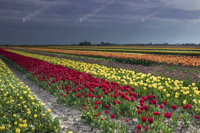 colorful tulip field in spring Dutch farmland