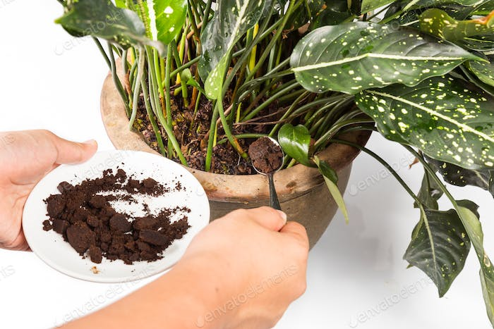 Adding spent coffee grounds onto plants as natural fertilizer