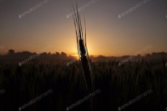 Barley plant at sunrise