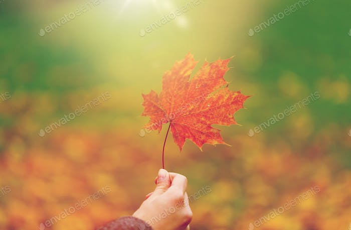 close up of woman hands with autumn maple leaves