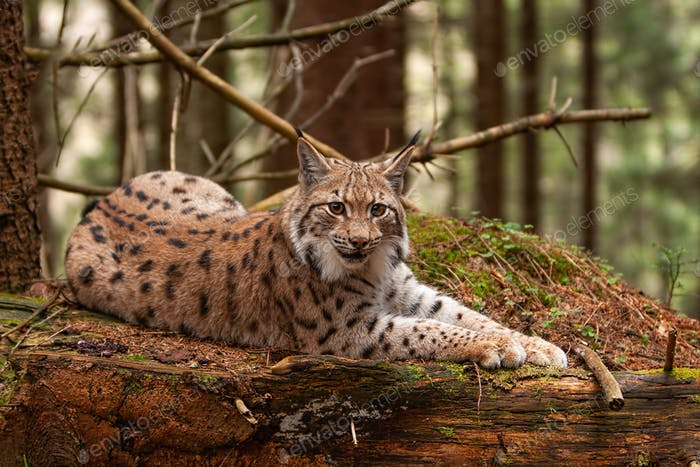 Eurasian lynx laying on fallen tree in autumn forest with blurred background