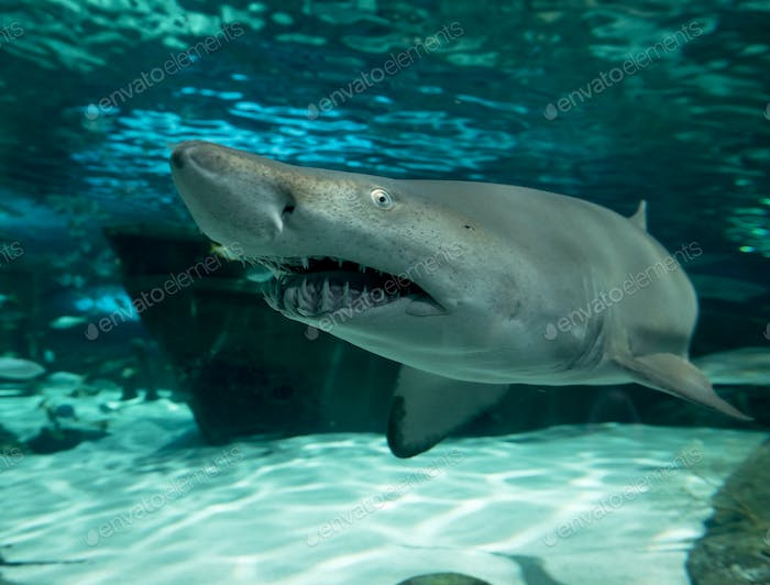 Wide angle, underwater view of sand tiger shark, carcharias taurus.