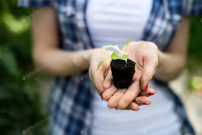 Woman's hands holding tomato plant with ground