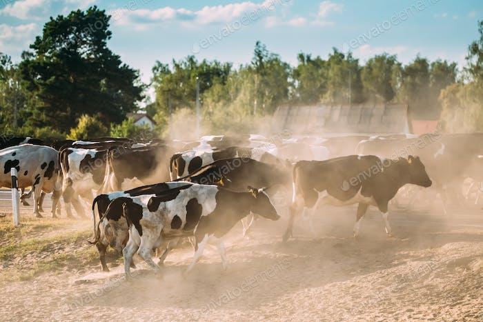 Herd Of Cows Crossing In Rural Meadow Countryside In Dusty Road