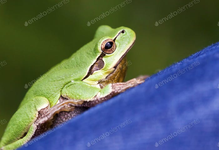 Cute green frog close-up