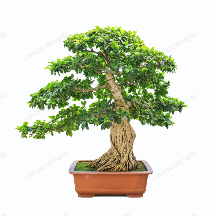 green bonsai banyan tree