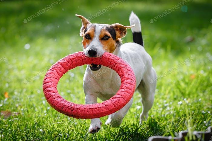 Jack Russell Terrier läuft witn Spielzeug