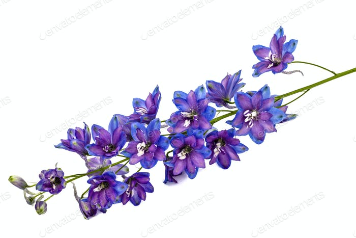 Flower of Delphinium (Larkspur), isolated on white background