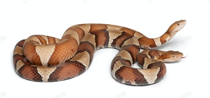 male and female Copperhead snake or highland moccasin - Agkistrodon contortrix