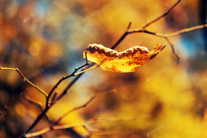 Dry leaf on the branch, fall season