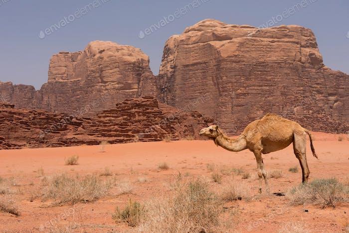 Camel resting in Wadi Rum desert, Jordan