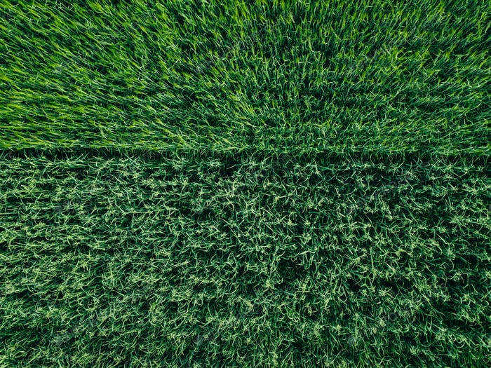 Aerial top view of green wheat or oat field. Abstract green background or wallpaper