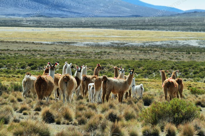 Flock of lamas in volcano isluga national park