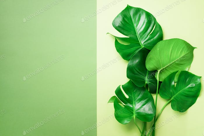 Green monstera leaves on olive green background with copy space. Top view. Minimal design. Exotic